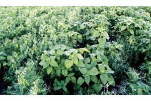 Гербіциди для боротьби з падалицею соняшнику