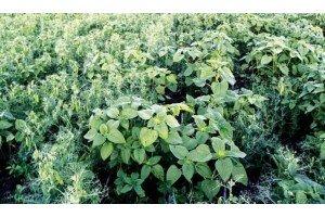 Гербициды для борьбы с падалицей подсолнечника
