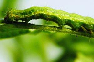 Как защитить сою от вредных гусениц?