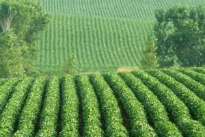Гербицид Базагран – надежное средство в борьбе сорняками при выращивании сои
