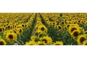 Выбор семян подсолнечника: на что обращать внимание