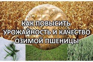 Как повысить урожайность озимой пшеницы