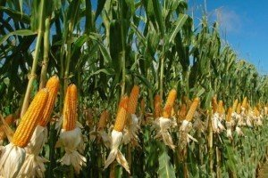 Когда лучше всего сеять кукурузу: оптимальные сроки