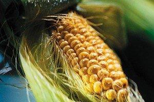 Определение содержания фосфора и калия в тканях кукурузы и сои