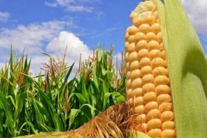 Гербіцид тівітус надійний захист кукурудзи від злакових бур'янів