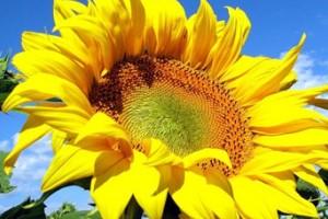 Требования к выращиванию семян НК Неома