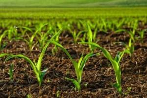 Украинская кукуруза составляет 95% импорта этого зерна в Китай