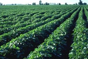 Перспективы выращивания сои в Украине