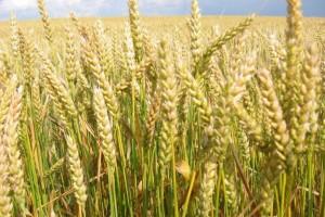 Гербицид Балерина - максимальный урожай при минимальных растратах