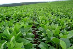 Соя: как достигнуть прогнозированного урожая?